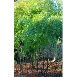 Phyllostachys nigra - established specimen