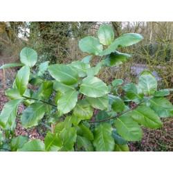 Ilex perado subsp 'Platyphylla' - leaves in winter