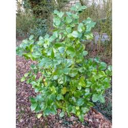 Ilex perado subsp 'Platyphylla' - 5 - 6 year old, specimen plant (approx 6 - 7 ft tall)
