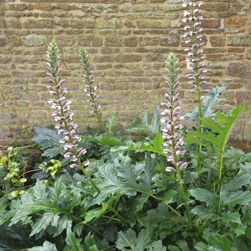 Acanthus spinosus - summer flowers