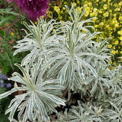 Euphorbia cyparissias 'Tasmanian Tiger' - established plant in summer