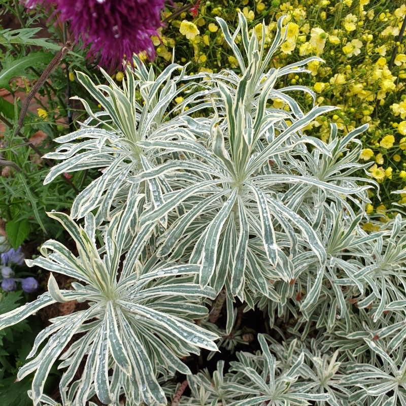 Euphorbia cyparissias 'Tasmanian Tiger' - established plant in summer