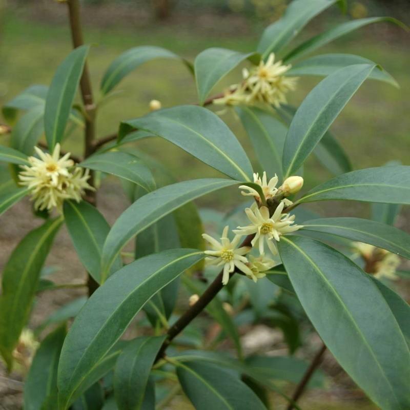 Illicium simonsii - flowering in summer