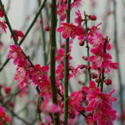 Prunus mume 'Beni-Chidori' - spring flowers