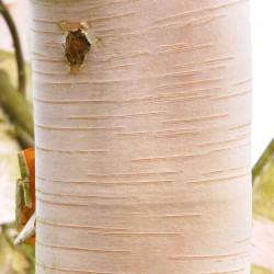Betula utilis 'Jermyns' - close up of bark