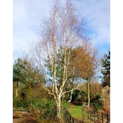 Betula utilis 'Jermyns' - established tree