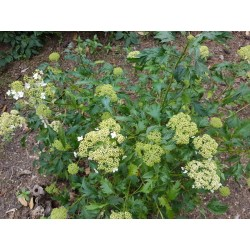 Hydrangea arborescens 'Emerald Lace' - cut leaves and summer flowers