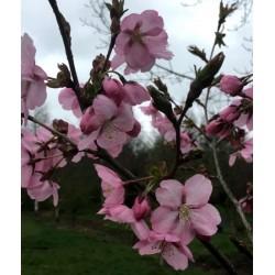 Prunus 'Jacqueline' - spring flowers