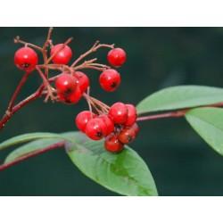 Cotoneaster frigidus 'Cornubia' - autumn berries