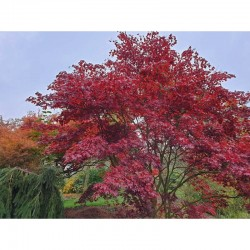 Acer palmatum 'Bloodgood' - leaves starting to turn red for autumn in early October