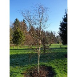 Betula pendula 'Spider Alley' - 6 year old tree in winter