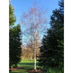 Betula pendula 'Silver  Grace' - approx 10 year old tree in winter