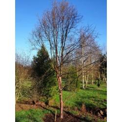 Betula utilis 'Wakehurst Place Chocolate' - approx 10 year old tree in winter