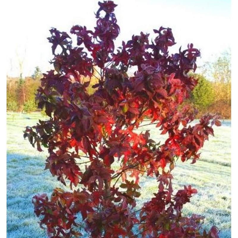 Liquidambar styraciflua 'Lane Roberts' - autumn colours