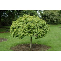Liquidambar styraciflua 'Gum Ball' - habit and summer foliage