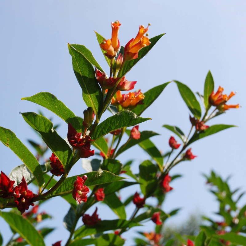 Lonicera involucrata - early summer flowers