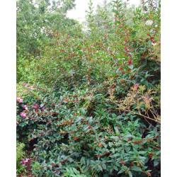 Lonicera involucrata - established flowering plant