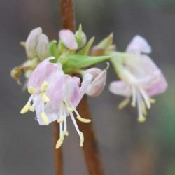Lonicera standishii 'Budapest' - winter flowers