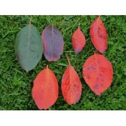 Aronia arbutifolia - Autumn colour progression