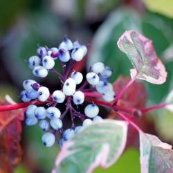 Cornus alba 'Sibirica Variegata' - autumn berries