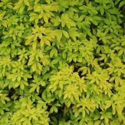 Choisya ternata 'Sundance' - golden foliage