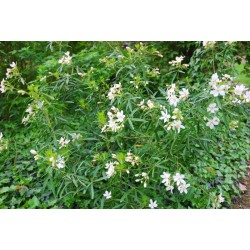 Choisya x dewitteana 'Aztec Pearl' - flowering in summer