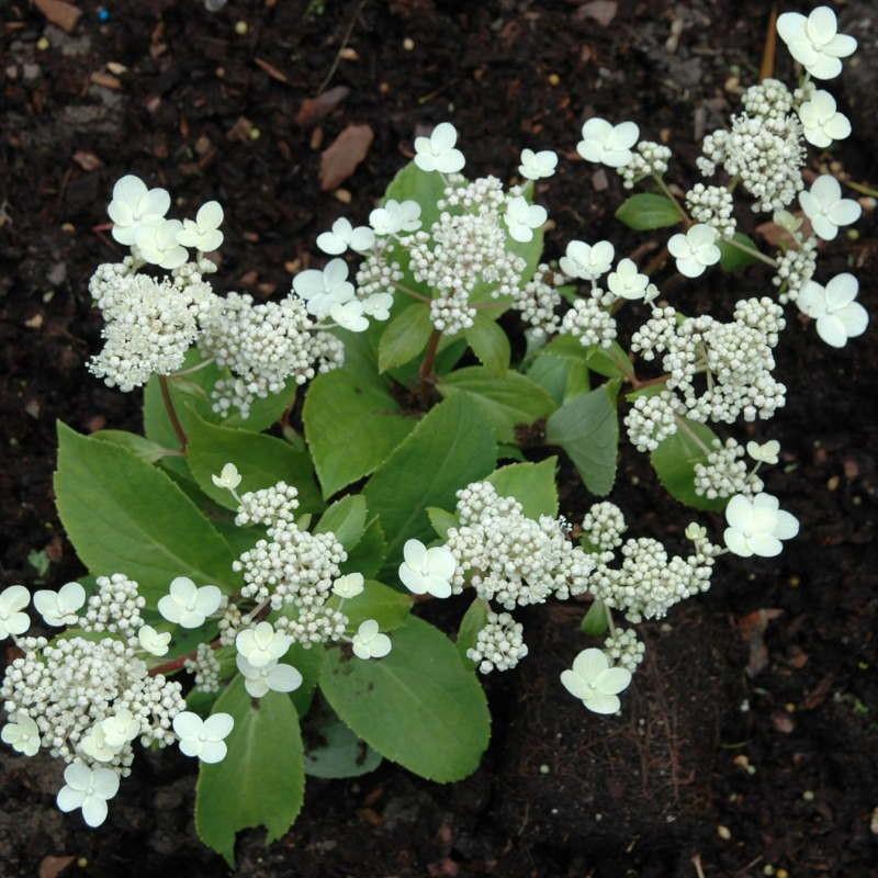 Hydrangea paniculata 'Prim White' - summer flowers