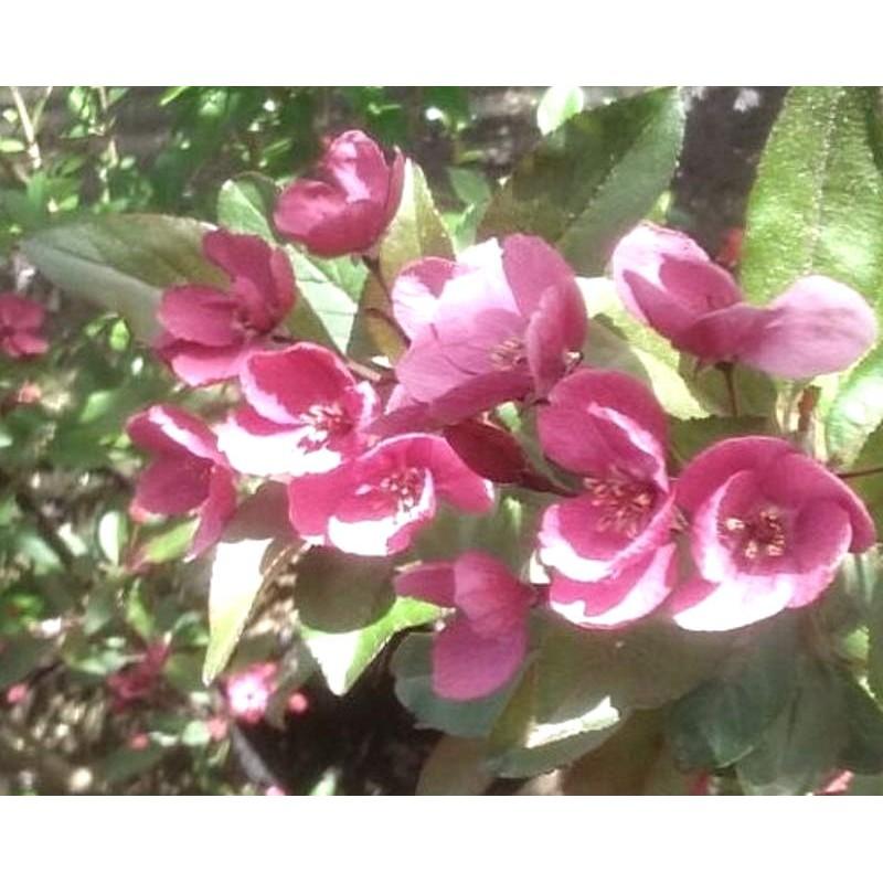 Malus 'Prairie Fire' - spring flowers