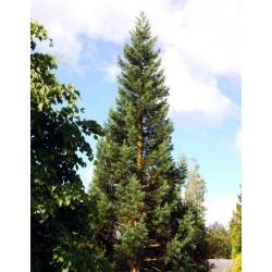 Sequoiadendron giganteum 'Glaucum' - 10 year old tree