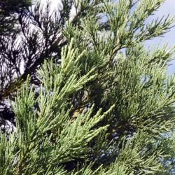 Sequoiadendron giganteum 'Glaucum' - close up of foliage