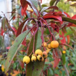 Photinia davidiana 'Fructu Luteo' - berries in autumn
