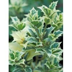 Osmanthus heterophyllus 'Variegatus' - close up of leaves