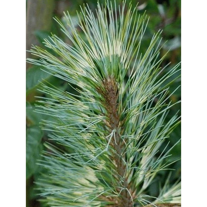 Pinus wallichiana 'Zebrina' - variegated leaves