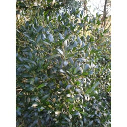 Phillyrea latifolia - close up of leaves