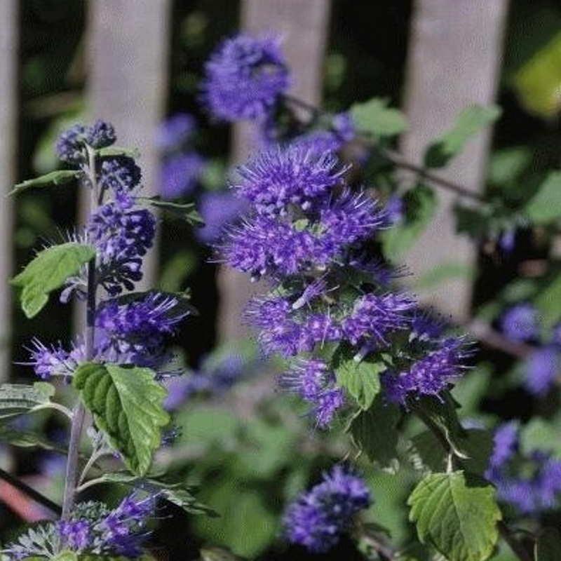 Caryopteris x clandonensis 'Kew Blue' - summer flowers