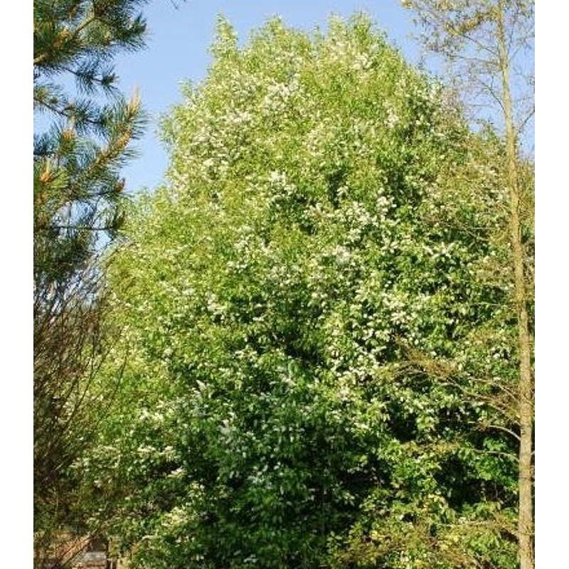 Prunus padus - established plant
