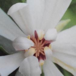 Calycanthus 'Venus' - summer flower
