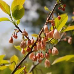 Halesia monticola 'Rosea' - summer flowers