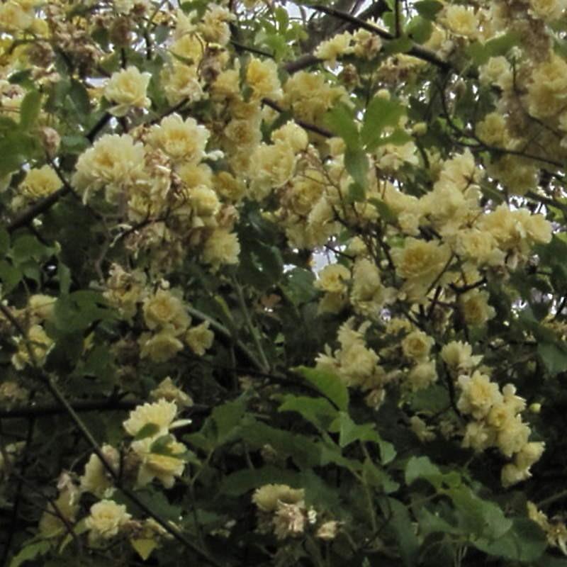 Rosa banksiae 'Lutea' - flowers