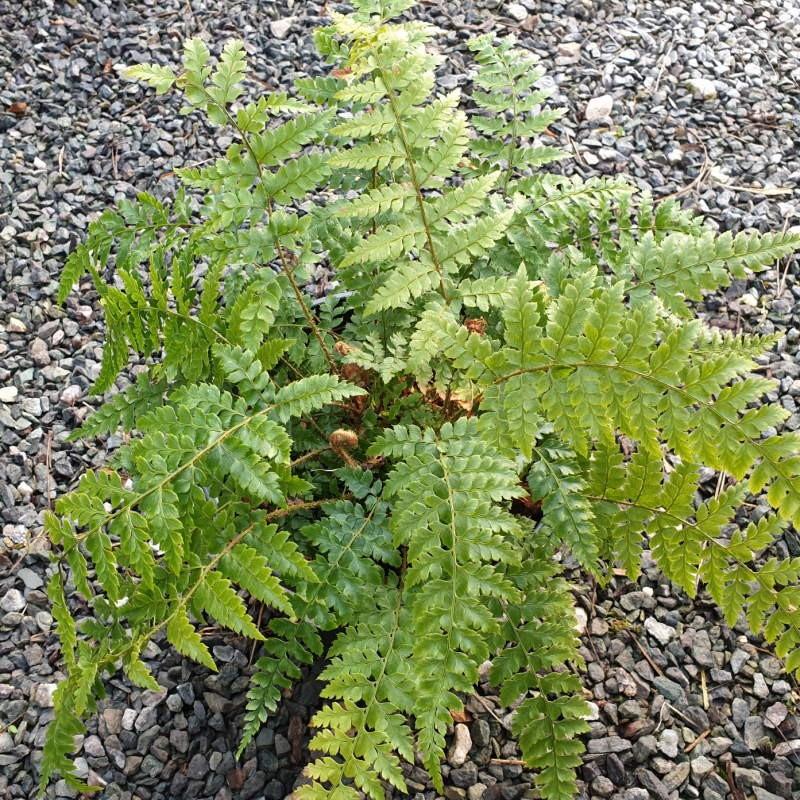 Polystichum yunnanense - mature leaves