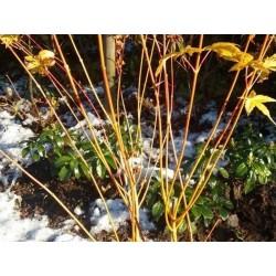 Acer palmatum 'Bi-hoo' - winter stems