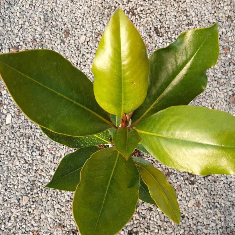 Magnolia grandiflora 'Little Gem' - leaves