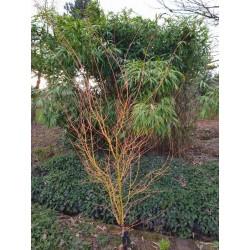 Acer palmatum 'Bi-hoo' - stems in winter