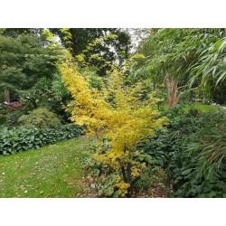 Acer palmatum 'Bi-hoo' - autumn colour
