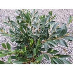 Distylium myricoides 'Blue Cascade'