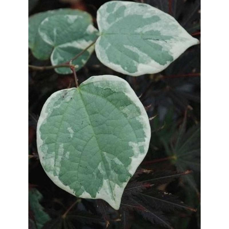 Disanthus cercidifolius 'Ena-nishiki' - summer leaves