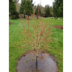 Metasequoia glyptostroboides 'Chubby' - approx 4 - 5 year old plant in winter