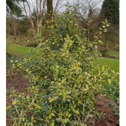 Ilex aquifolium 'Calypso' - established 10 year old plant