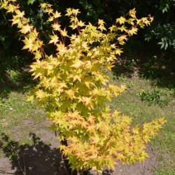Acer palmatum 'Summer Gold' - leaves in late summer / early autumn