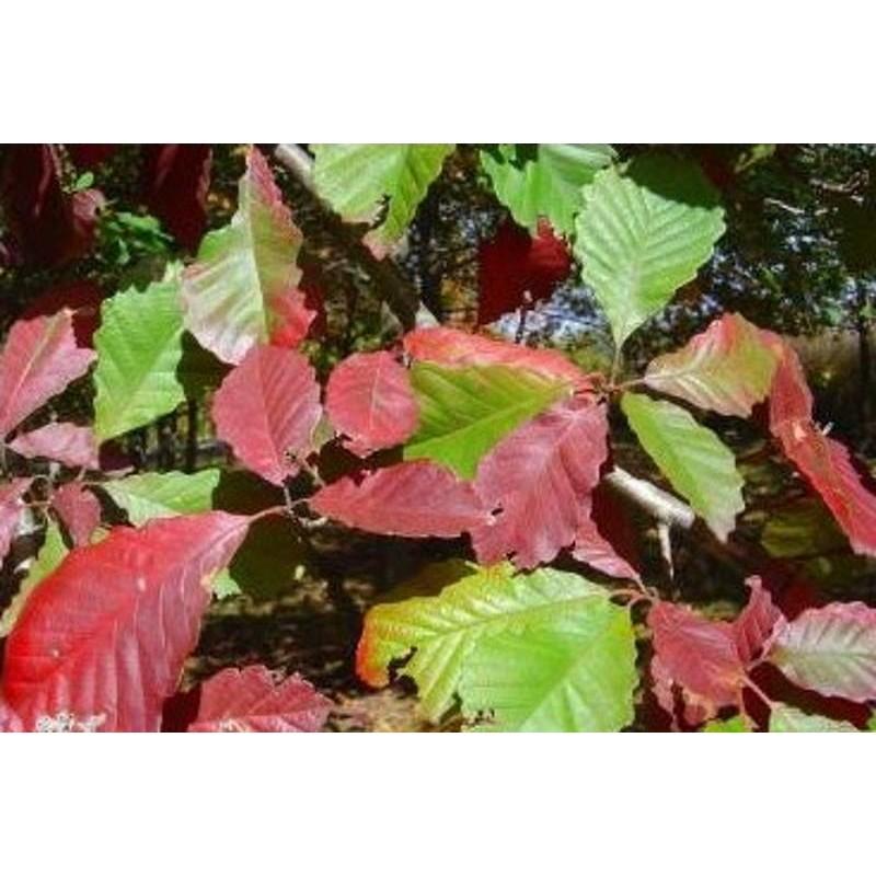 Quercus michauxii - autumn colour